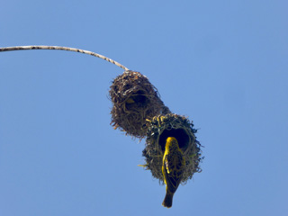Village Weaver at work